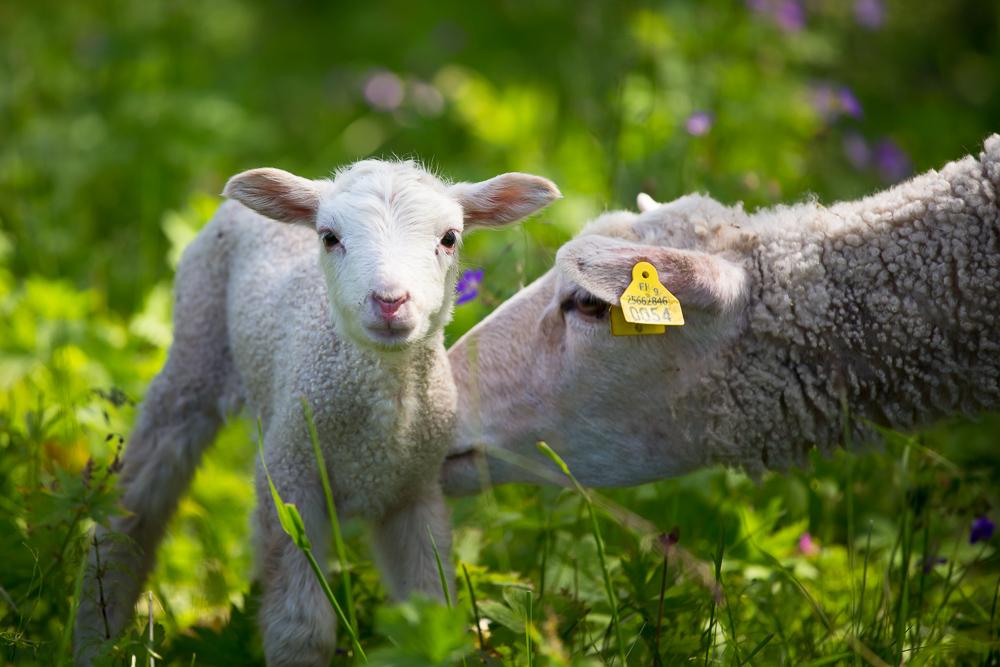 Metsähallitus Lammaspaimen